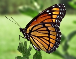 Viceroy_Butterfly