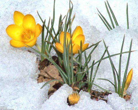 yellow_crocus_flowers_in_the_snow_1600x1279.jpg (1600×1279)