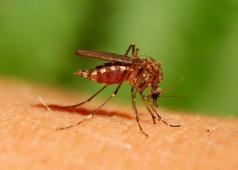 mosquito-bite-1-3_med_hr