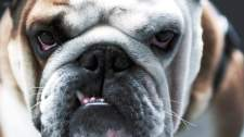 5-stanley-the-bulldog-close-up-face