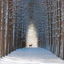 """Mount Airy, the largest and oldest """"urban forest"""" in the United States, just blocks from where we live,is home toour beloved""""neigborherd"""" of deer."""