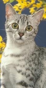 jeune chat mau égyptien de face - portrait - yeux verts