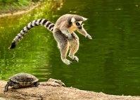 lemur-terrapin-20121