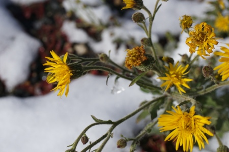 dandelions-in-the-snow