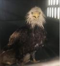 sick_eagle