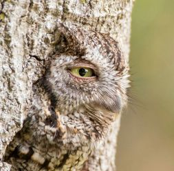 Disguised Owl
