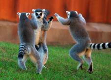 Ancient Lemur Rituals