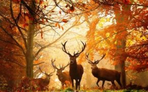 Deer gathering, October