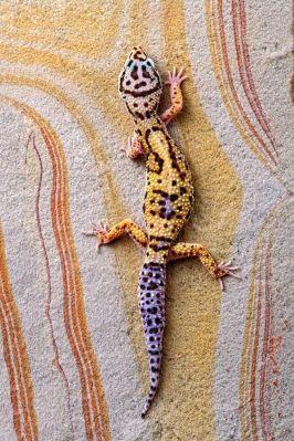 Leopard gecko (Robert Jensen)