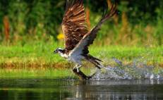 Osprey with its lunch