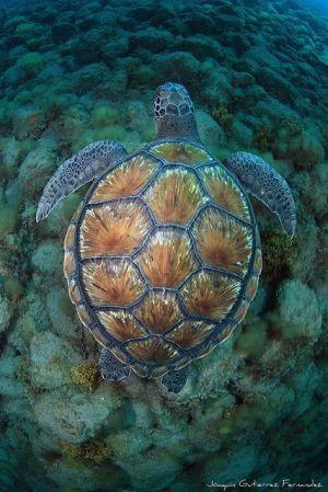 Sea turtle (Joaquin Gutierrez Fernandez)