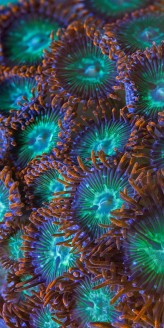 Zoanthids (living coral)