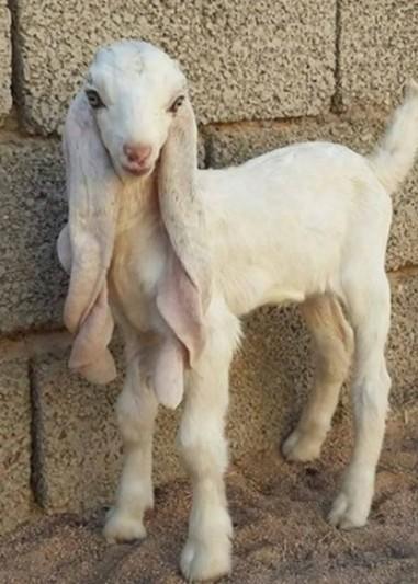 Damascus Goat