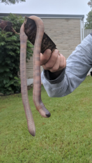 Earthworm (QUeensland, Australia)