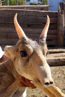 Saiga Antelelope
