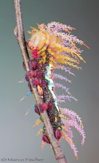 Saturnidae Motch caterpillar