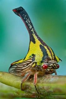 Umbonia Spinosia (Treehopper)