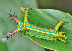 Wattle Cup Caterpillar