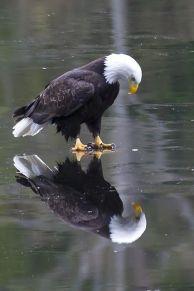Eagle on Ice (James Geddes)