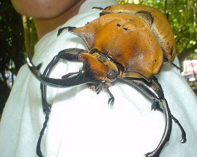 Rhinocerous beetle, Costa Rica