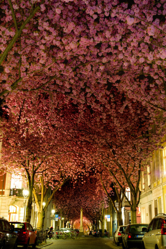 Cherry Trees, Bonn, Germany