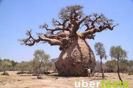 Fat baobab tee