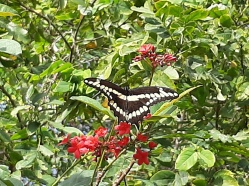 Giant Swallow Tail butterfly, Boca Raton (I couldn't believe it let me get this close!)