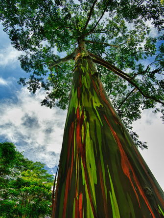 Rainbow Eucalyptus, Kauai, Hawaii