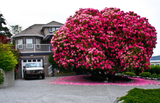 Rhododendrom tree, Canada