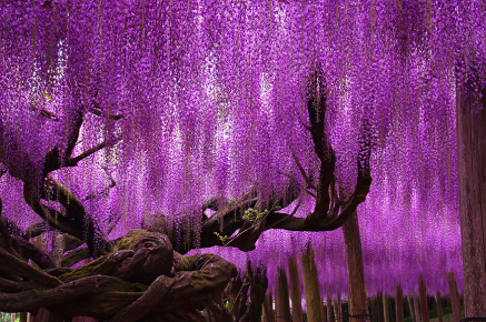 Wisteria, Japan