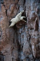 Not all daredevils are human - Mountain Goat descending cliff (photo by Joel Sartore)