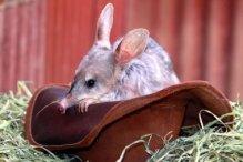 Australia - Easter Bilby
