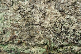 camouflaged-peppered-moth-david-aubrey