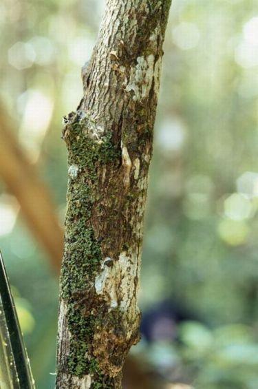 Leaf-tailed Gecko - camouflage. Endemic. Andasibe, Madagascar.