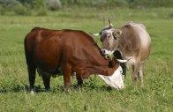Cows have BFFs.