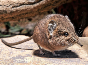 "Elephant Shrews are actually related to elephants (and not shrews (""Who knew?"")."
