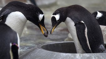 Gentoo Penguins propose by presenting a pretty pebble to their lifemate.