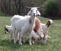 "Goats have regional accents (""You're not from around here, are you?"")."