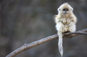 "Golden Snub-Nosed Monkey, China, are nearly extinct (""Don't snub me!"")."