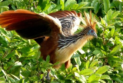 "Hoatzins have claws on their wings and use them to climb trees (""Plus I look awesome, dude!"")."