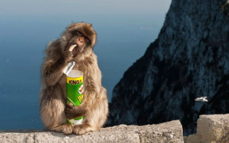 Macaques in Japan beg or steal coins to buy vending machine snacks.