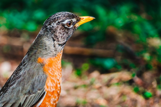 American Robin Photograph. by Stephen Geisel, Love-fi