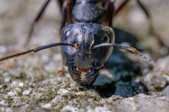 Happy Ant. Macro Photograph By Stephen Geisel, Love-fi