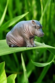 Mini-Hippo-l