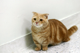 "Munchkin Cats are sometimes called ""Corgi Cats"" (guess why)."