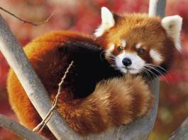 Red Panda's spend most of their lives in trees.