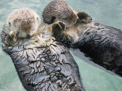 Sea Otters hold hands when they sleep.