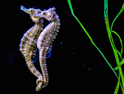 Seahorses mate for life, and hold each others' tails when they travel.