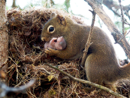 Squirrels adopt abandoned babies.