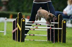 Sweden has a rabbit show-jumping competition called Kaninhoppning.